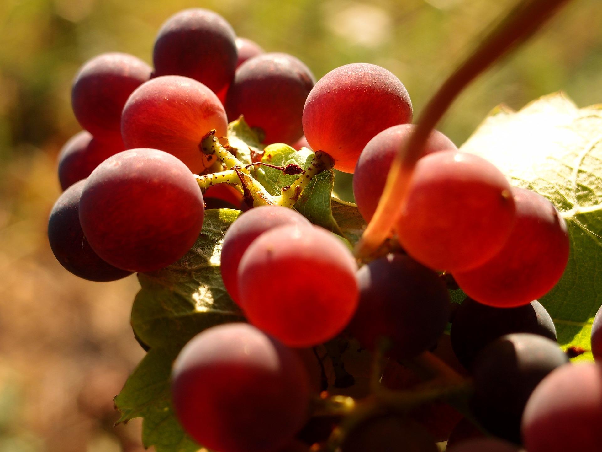 grape chateau haute neuve saint emilion