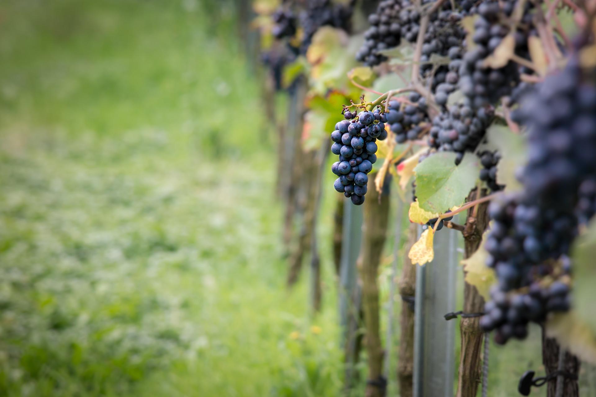 grappes raisins chateau haute nauve saint emilion grand cru